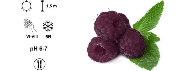 фиолетовая малина Glen Coe