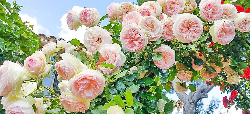 Подвязка плетистых роз