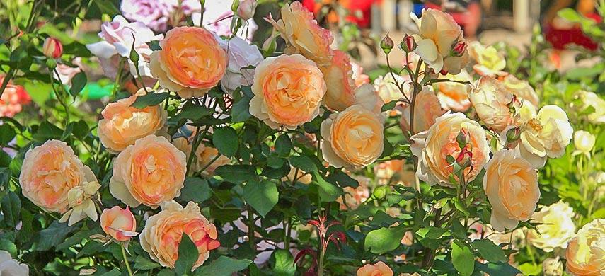 розы размножение семенами