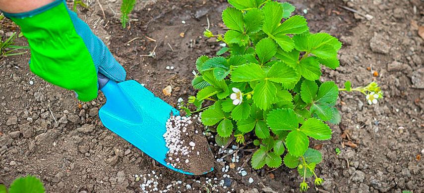 В августе стоит закладывать новые плантации ягодников