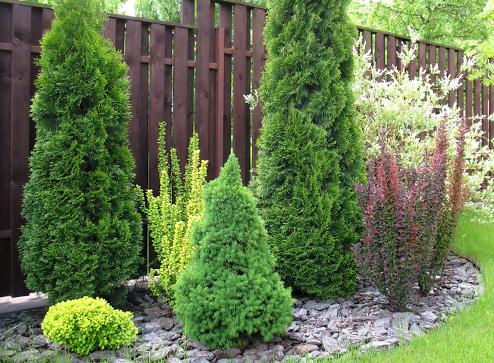 Каталог - -40% на хвойные растения - Беккер.Бу Беларусь